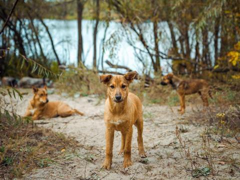 Perros callejeros en la zona de exclusión.