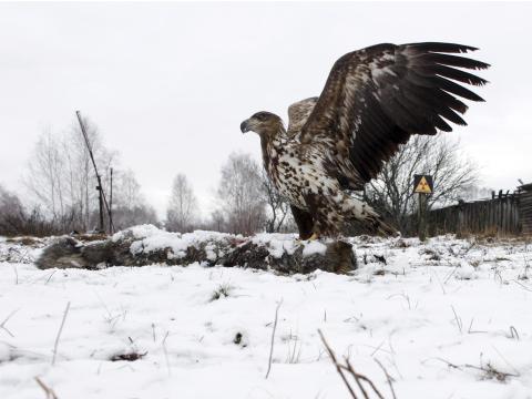 Aguila de cola blanca en la zona de exclusión en 2016.
