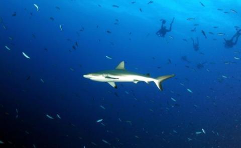 Tiburones en los arrecifes de Micronesia