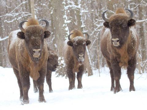 Bisontes en la zona de exclusión en 2011.
