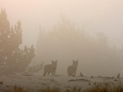 Lobos en la zona de exclusión en 2009.
