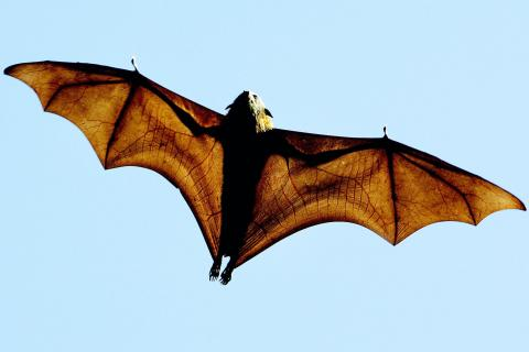 grey-headed Flying-fox (Pteropus poliocephalus), a native Australian bat, stretches its leathery wings as it flies high over Sydney's Botanical Gardens