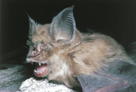 Un murciélago de herradura mayor, familiar de la especie de murciélago Rhinolophis sinicus de China y huésped original del SARS.
