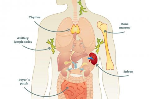 Diagram of the human immune system.