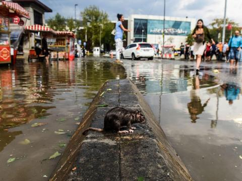 A rat stands on a cement block in a flooded street after a heavy downpour of rain and hail at Besiktas near Istanbul on July 27, 2017.