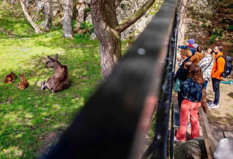 Visitors watch Aelsa the elk with her newborn calves at Slottskogen Zoo in Gothenburg, Sweden on May 18, 2020.