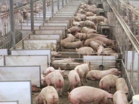Cerdos en las granjas de Fair Oaks en Fair Oaks, Indiana, el 18 de mayo de 2015.