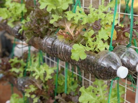 Cultivar lechuga en botellas de plástico usadas es fácil.