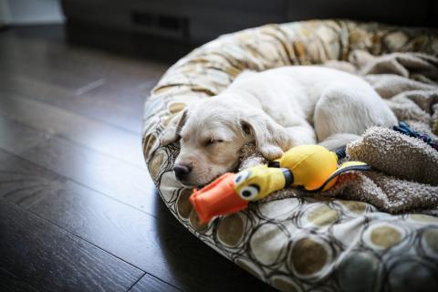 An 8-week-old golden labrador husky mix sleeps on a cushion. Angela Auclair/Getty