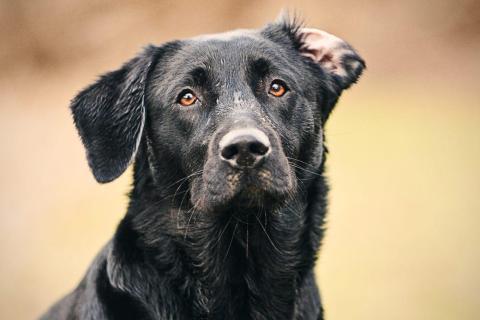 An adult black labrador. Shutterstock