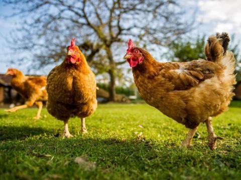 Pollos.