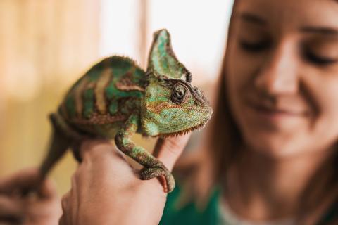 Los camaleones no cambian de color para camuflarse con el entorno.