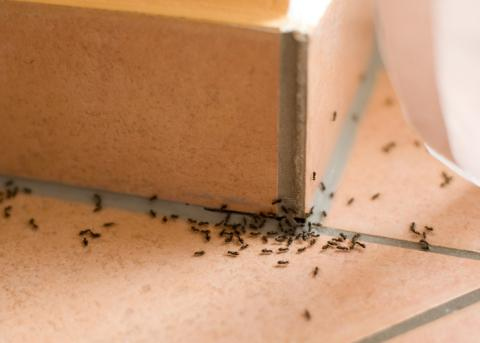 Hormigas en casa.