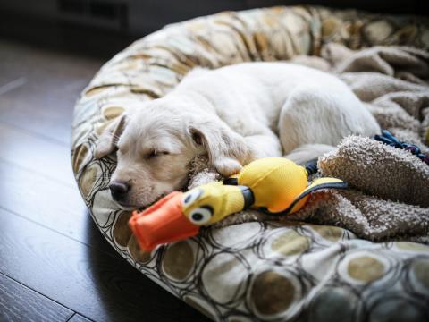 Un labrador de 8 semanas duerme en un cojín.