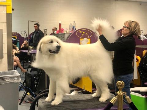 Un perro se arregla en la exposición canina de Westminster.