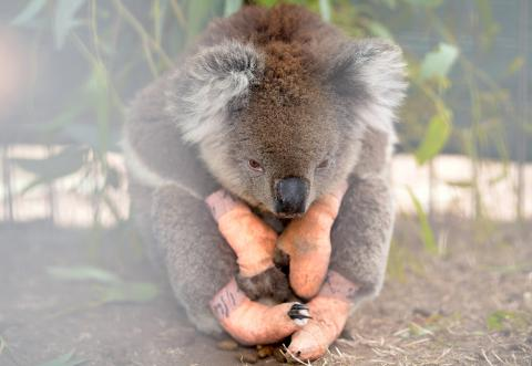 Un koala herido tras los incendios de Australia a principios de 2020