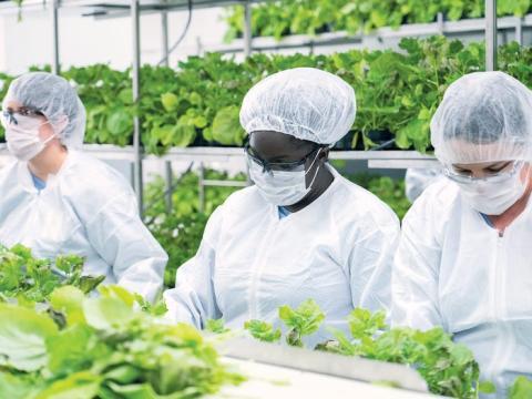 Investigadores trabajan en el invernadero de Medicago en Durham, Carolina del Norte. La compañía canadiense ahora está probando en humanos su vacuna contra el coronavirus de origen vegetal.