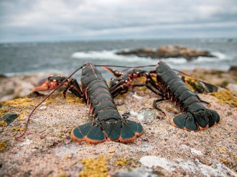 Freshly caught lobsters.