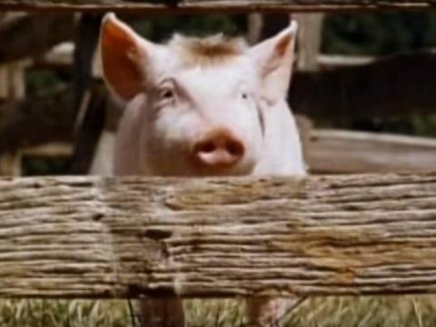 'Babe, el cerdito valiente' cuenta la historia de un pequeño cerdo.