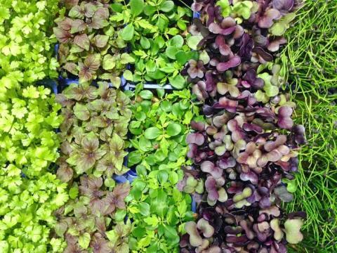 Los mini brotes son básicamente pequeñas verduras de hoja.