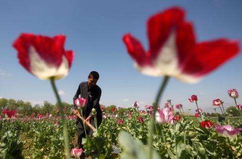 Un afgano trabajando en un campo de amapolas.