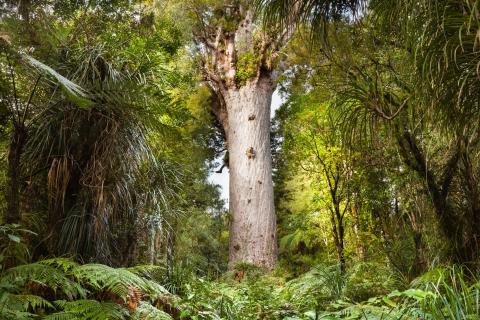 Kauri de Nueva Zelanda, el árbol milenario protagonista del estudio.