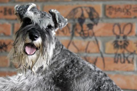 Perro raza schnauzer