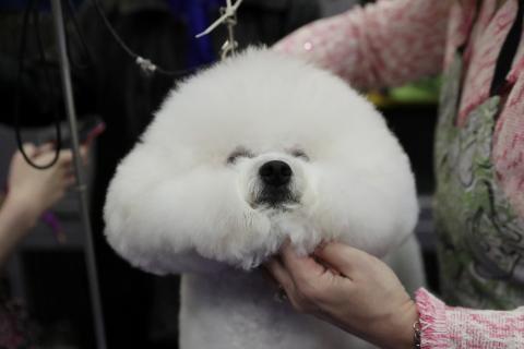 Perro tipo bichón