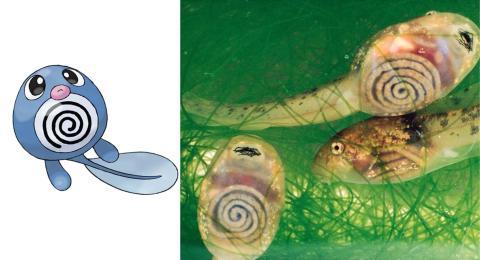 Poliwag está inspirado en los renacuajos traslúcidos