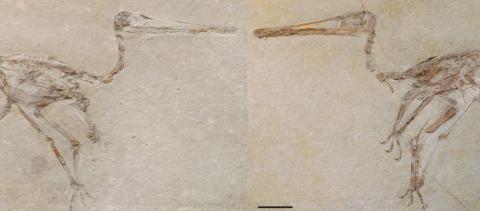 Fósiles de 'Aerodactylus'