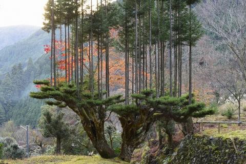 Daisugi, la técnica japonesa con 600 años de antigüedad para cultivar madera sin cortar los árboles
