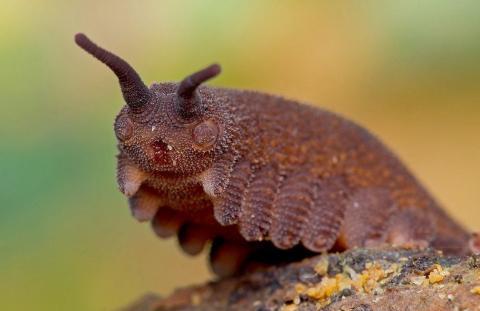 'Eoperipatus totoros'.