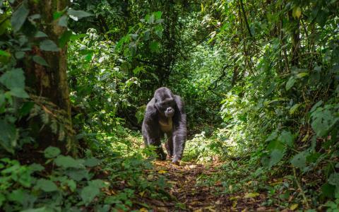 Gorila de Monataña.
