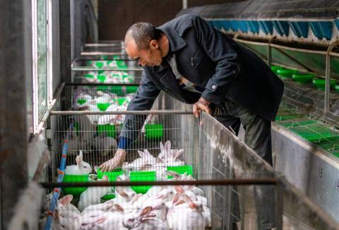 Granja de conejos en China