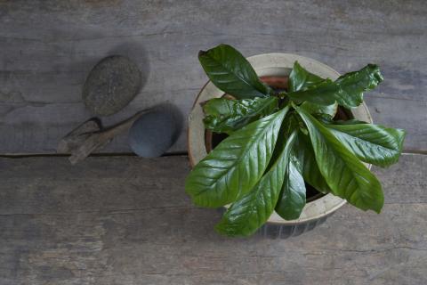 La chacruna o 'Psychotria viridis' es un insumo psicotrópico en la cocción de la ayahuasca.