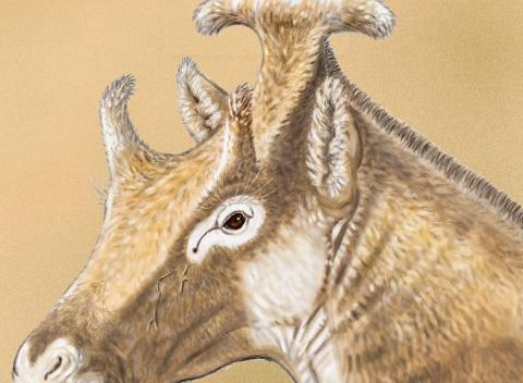 'Xenokeryx amidalae'