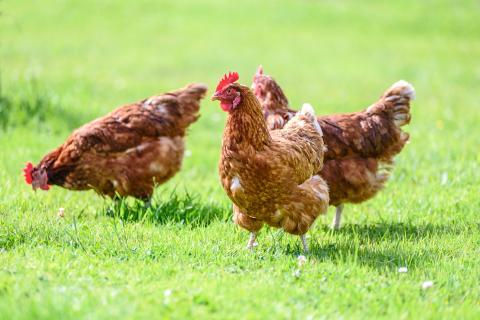 Tamaño de las gallinas