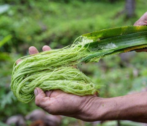 Extracción de la fibra de las hojas de piña.