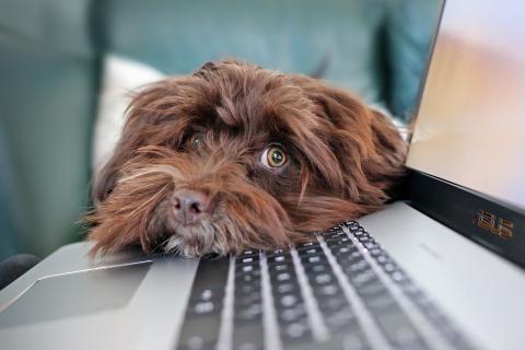 Un perro apoya la cabeza sobre el ordenador.