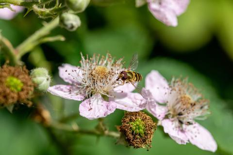 Abeja alimentándose de una flor de mora.