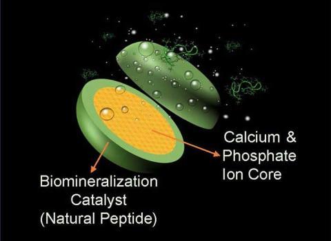 La pastilla utiliza un péptido modificado genéticamente, junto con iones de fósforo y calcio, para construir nuevas capas de esmalte en los dientes.