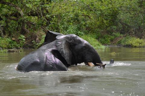 Elefante cruzando el río Akaka en Gabón.