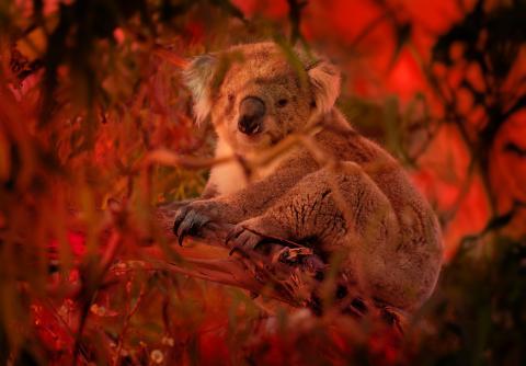 Koala sobre un eucalipto durante los incendios de Australia en 2020.