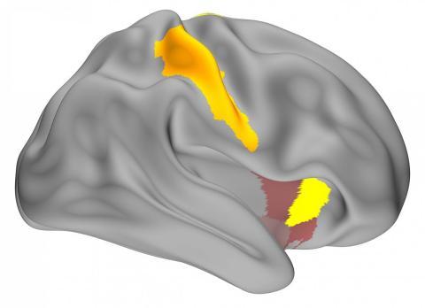 Mapa de la actividad de reproducción de memoria observada en el estudio.