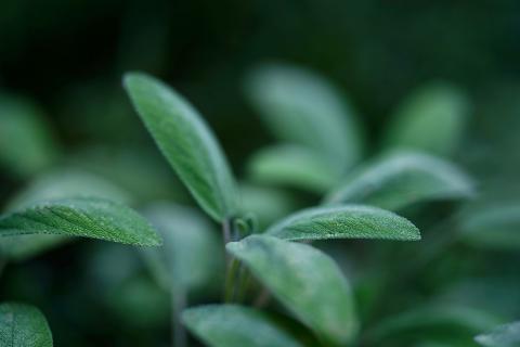 Salvia.