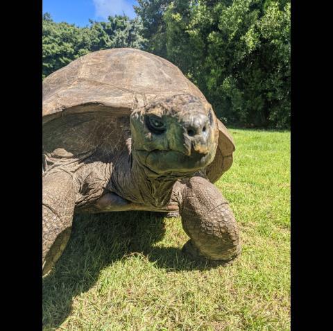 Jonathan, la tortuga más antigua del mundo.