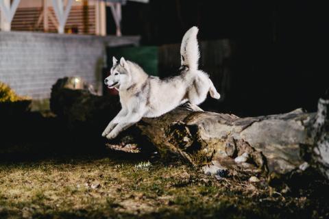 Perro actividad saltar