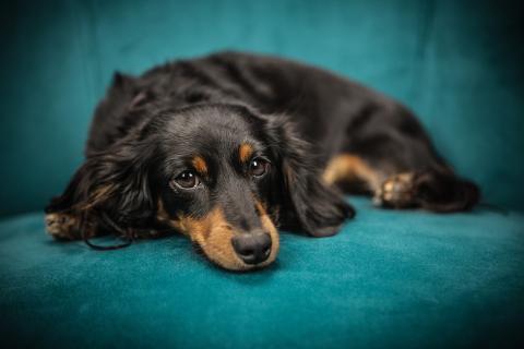 Perro cachorro sofá