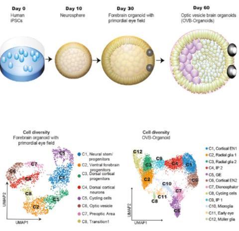 Un esquema de cómo se desarrollan los organoides cerebrales para incluir copas ópticas.