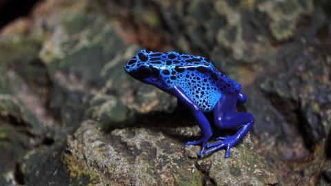 4 de cada 10 anfibios podrían desaparecer.